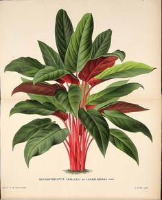 113788 Schismatoglottis acuminatissima Schott var. lansbergiana [as Schismatoglottis lavallei Linden var. lansbergiana]  / L' Illustration horticole, vol. 29: t. 468 (1882) [P. de Pannemaeker]