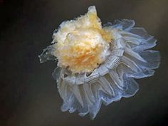 jellyfish who lives in the Arctic. I never new there was such a thing.
