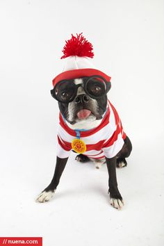 my baby Harley the Boston Terrier as Waldo