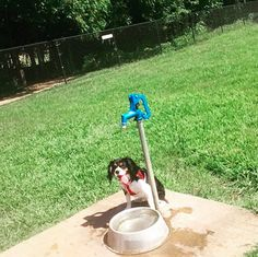 Staying cool by the doggy fountain at Edmond Dog Park at Bickham Rudkin Park - Edmond, OK - Angus Off-Leash #dogs #puppies #cutedogs #dogparks #angusoffleash #edmond #oklahoma