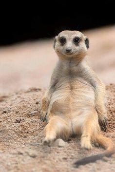 Happy meerkat for you! Super Cute Animals, Cute Baby Animals, Funny Animals, Smiling Animals, Animals And Pets, Mundo Animal, My Animal, Beautiful Creatures, Animals Beautiful