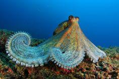 Octopus from Pedra de Martinhal, Sagres, Algarve, Portugal. #Oceana #Nautica