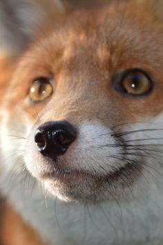 Pudding the fox 1/11/2014