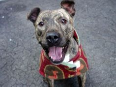 GONE - BE AT PEACE - SUN 3/2/14  Manhattan Ctr -P NALA A0992042 Female br brindle/wht pit mix 3 YRS OWNER SUR 2/20/14 Lived w/ 2 adults & 2 children, gets along w/ all people, is playful, plays rough w/ other dogs, knows 'sit', 'lie down' & 'give paw'. Social, friendly, high energy & active. Would benefit from some leash training.She'll do best in an active home as she needs plenty of exercise and lots of love. Nala a sweet girl hoping to find someone who needs a buddy to run/walk/hike…