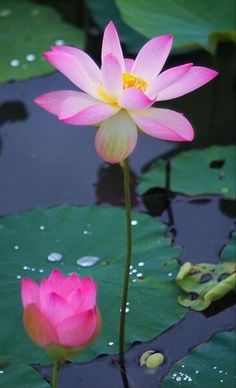 Water Lilies, Water Garden, Beautiful Gardens, Baby Animals, Plant Leaves, Lily, Plants, Baby Pets, Orchids