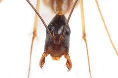 ケブカアメイロオオアリ Camponotus monju  兵隊アリ
