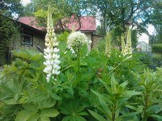 Lupins and Allium