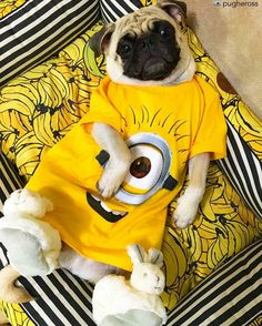 Ba-ba-ba-ba-ba-na-na ba-ba-ba-ba-ba-na-na banana-ah-ah potato-na-ah-ah. by @pugheross DoubleTap & Tag a Friend below by pugsproud