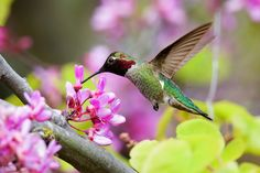 Anna's Hummingbird feeding nectar on flower!