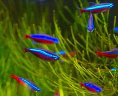 Summary: Betta Fish also known as Siamese fighting fish; Mekong basin in Southeast Asia is the home of Betta Fish and is considered to be one of the best aquarium fishes. Tropical Freshwater Fish, Tropical Fish Aquarium, Tropical Fish Tanks, Freshwater Aquarium Fish, Aquarium Fish Tank, Wall Aquarium, Aquarium Ideas, Planted Aquarium, Aquascaping