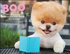 Pomerania puppy called Boo which is the worlds cutest dog
