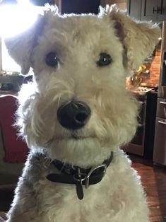 Cutest wire fox terrier!