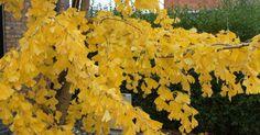 Checklist - B(l)oeiende planten in november | MijnTuin.org  bladvorm bladkleur kleur van de vruchten/bessen kleur of vorm van de takken vorm/silhouet van de plant bladhoudend/bladverliezend