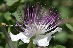 Common name: Common Caper  Flowering Period: May, June, July, August, September