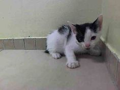 NYACC ** URGENT** PURRFECTLY PRECIOUS BABY ALERT!!** THIS KITTY WILL STEAL YOUR HEART!! TO BE DESTROYED 7/19/14 Brooklyn Center  My name is MELVIN. My Animal ID # is A1006602. I am a male white and black domestic sh mix. The shelter thinks I am about 4 WEEKS old.  I came in the shelter as a STRAY on 07/14/2014 from NY 11420, owner surrender reason stated was STRAY. I came in with Group/Litter#K14-185806…