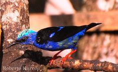 Saíra-beija-flor (Cyanerpes cyaneus) | Flickr - Photo Sharing!