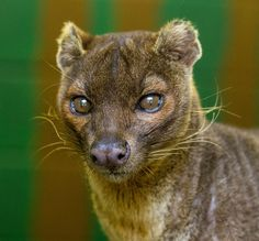 Fossa (by MartynGwhizz Photography)
