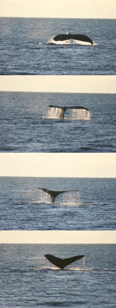 Port Angeles in November with Island Adventures / Port Angeles Whale Watch Company. 11/15/2014 Humpback - Split Fluke