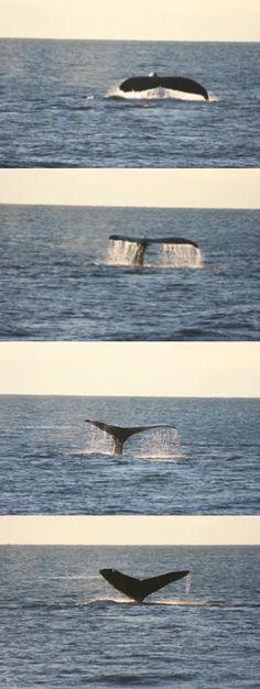 Port Angeles in November with Island Adventures / Port Angeles Whale Watch Company. 11/15/2014 Humpback - Split Fluke