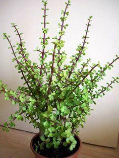 planta de jade (Portulacaria afra)
