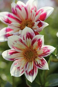 Dahlia,  as posted on facebook by Secret Language of flower