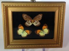 Vintage Natural Preserved Butterfly Wing Specimens in Wood Frame