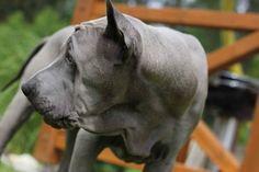 Thai Ridgeback Dog Thai Ridgeback, Pitbulls, Sweet, Dogs, Animals, Candy, Animales, Pit Bulls, Animaux