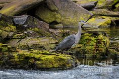 BLUE HERON: Available as a fine art print, canvas and greeting cards.   Blue Heron at Neets Bay, Alaska
