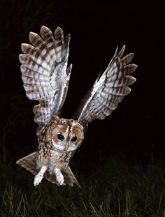 Tawny Owl in flight | Recent Photos The Commons Getty Collection Galleries World Map App ...