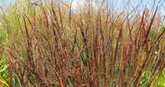 Panicum 'Blood Brothers' - striking blood-red tones and attractive vase-shape, grows 1.2 to 1.5 m. tall. Drought tolerant, moderate salt tolerance, no maintenance beyond cutting back annually, this grass offers great versatility in the garden and, when backlit, it glows.