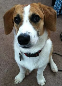 Beagi (Beagle X Pembroke Welsh Corgi) - This looks almost exactly like our little Lily. Corgi Beagle Mix, I Love Dogs, Cute Dogs, Calm Dog Breeds, Unique Dog Breeds, Purebred Dogs, Puppy Eyes, Beautiful Dogs, Dog Friends