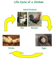 life cycle of a chicken facts