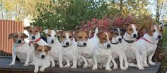 15 Signs You Are A Crazy Jack Russell Person I already know this! Rat Terriers, Terrier Dogs, I Love Dogs, Cute Dogs, Parsons Terrier, Jack Russell Puppies, Parson Russell Terrier, Jack Russells, Dog Store