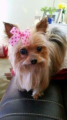 My little Schant'Hai, I will always love & miss you my Love~ you were simply the Best~♡♡♡♡ #yorkshireterrier