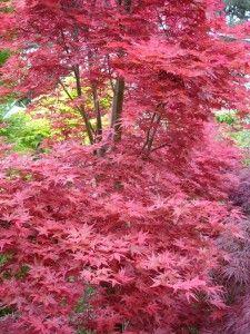 Acer palmatum 'Shindeshojo' - Progressive Plants x Deciduous Trees, Trees And Shrubs, Trees To Plant, Small Trees For Garden, Japanese Garden Design, Japanese Gardens, Garden Totems, Acer Palmatum, Pink Trees