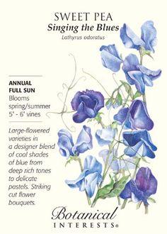 Singing The Blues Sweet Pea Seeds 3 Grams | eBay