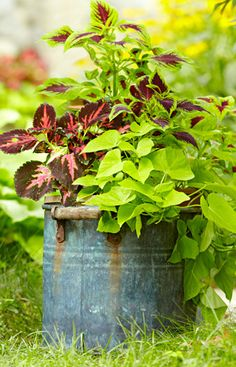 Fill a shady spot with a colorful container garden. A lime-color sweet potato vine stands out in combination with a burgundy, red, and pink coleus in a vintage container.