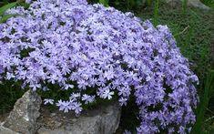 18-plantas-cubresuelos-con-flor-09