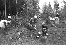 Школьники колхоза «Белорусский Труженик» собирают грибы для Красной Армии и населения города.  Июль 1942 г. Ярославская область.