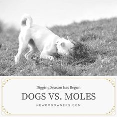 Moles: Digging Season has Begun - New Dog Owners The season is among us! Stop Dogs From Digging, Dog Treat Recipes, Mole, Cute Photos, Dog Owners, Dog Treats, Dog Training, Your Dog, Puppies