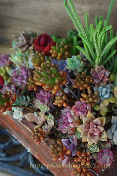 succulents with color