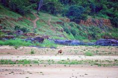 park banking park banking Lion walking on the Letaba River Bank, image taken from the Letaba High Level Bridge on the near Letaba Camp Kruger National Park, National Parks, Lion Walking, Baobab Tree, Elephant Walk, River Bank, Tree Forest, Animals Images, Africa Travel