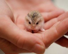 Cute Little Fuzzball (name that animal)-looks like a robo dwarf hamster