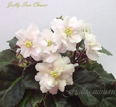 African violet 'Jolly Sun Chaser' Double wavy frilled semi-miniature standard.