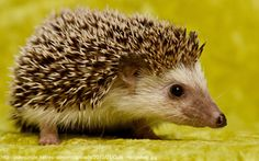 Have you ever cooked a hedgehog? I have. | liza.temir