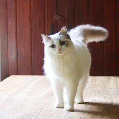 #salatino #clubesalatino #gato #cat #cats #pet #ilovemypet #animalplanet #bestphotos #ilovemypet #lovecats #ilovemycat #cute #love #gatos #gatil #cattery #ragdoll