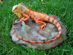 Green Iguana Google Search Pictures Lizards Snakes Reptiles Searching Profile Iguanas