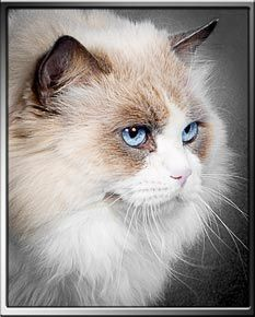 Caring For A Ragdoll Cat Cats Kittens Siberian Cat Breeders