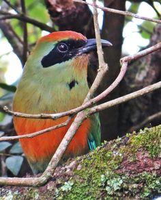 Rufous-capped Motmot, Baryphthengus ruficapillus, Aline Patricia Horikawa | Wiki Aves - A Enciclopédia das Aves do Brasil