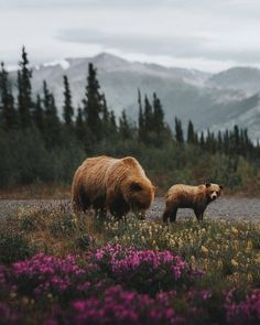 Two Yukon grizzly bears roaming around the wilderness looking for a treat - Photo by: Always Amazing Animals, Animals Beautiful, Wildlife Photography, Animal Photography, Image Photography, Animals And Pets, Cute Animals, Photo Vintage, Nature Aesthetic